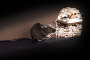 Rodent Removal Tampa Bay | Swat Exterminating